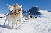 Sled Dog Team Standing On The Juneau Ice Field./Nthe Granite Spires Of Mendenhall Towers Can Been Seen In The Distance. Summer In Southeast Alaska, Digitally Altered