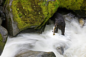 Overhead View Of A Black Bear Catching A Pink Salmon In Anan Creek In Southeast Alaska