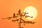 Silhouette Of Bald Eagle On Branch At Sunset Digital Composite