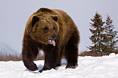 Captive: Grizzly Stands On Snow During Winter At The Alaska Wildlife Conservation Center, Southcentral Alaska