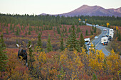 An Adult Bull Moose Walks Amongst The Autumn Colored Brush In Denali National Park And Preserve While Cars And Campers Take Pictures From The Park Road, Interior Alaska, Fall