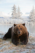 Captive: Female Brown Bear Lays On Snowy Hill With Scenic Winterscape In The Background At The Alaska Wildlife Conservation Center, Southcentral Alaska, Winter