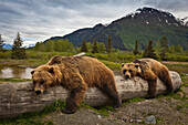 Captive: Two Mature Brown Bears Lay Stretched Out On A Log At Alaska Wildlife Conservation Center, Southcentral Alaska, Summer