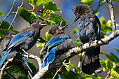 Steller's Jay Feeds A Pair Of Open-Mouthed Chicks Near Valdez, Southcentral Alaska, Summer