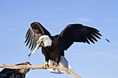Bald Eagle Perched On Driftwood Holding A Fish In Its Beak, Near Homer, Kenai Peninsula, Alaska, Winter