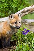 Closeup Of Red Fox Pup British Columbia Canada Captive Spring
