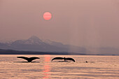 Pod Of Humpbacks Feeds Along The Shoreline Of Admiralty Island In Alaska's Inside Passage At Sunset
