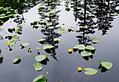 Forest Reflects In Still Pond Full Of Yellow Pond Lilies Fords-Terror Wilderness Area Se Alaska