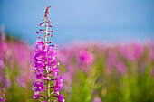 Fireweed Detail Near Anchor Point On The Kenai Peninsula In Southcentral Alaska.