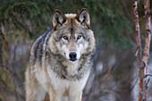 'Captive alaska wolf at the alaska wildlife conservation centre; alaska united states of america'