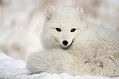 'Arctic fox (alopex lagopus) in the white winter phase; yukon canada'