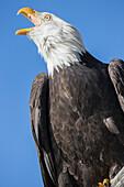 'American bald eagle;Alaska usa'