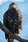 'Young american bald eagle perched on a branch;Alaska usa'