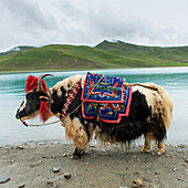 'China, Xizang, Tibet, Decorated Yak; Shannan; Shannan'