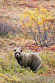 'Brown Bear (Ursus Arctos) In Denali National Park With Autumn Colours;Alaska United States Of America'