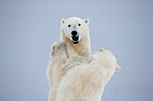 'Polar Bears Play Fighting Along The Shores Of Hudson's Bay;Churchill Manitoba Canada'