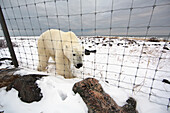 'Polar Bear Outside The Fence Of Seal River Lodge;Churchill Manitoba Canada'