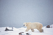 'Polar Bear Walking Through The Snow Along The Shore Of Hudson's Bay;Churchill Manitoba Canada'