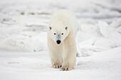 'Polar Bear Walking Through The Snow And Ice;Churchill Manitoba Canada'