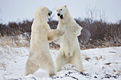 'Polar Bears Play Fighting Along The Shores Of Hudson's Bay;Churchill Manitoba Canada'
