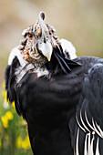'Ecuador, Male Condor (Vultur Gryphus); Imbabura'