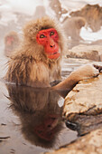 'Japan, Nagano-Ken, In Mountains Of Central Japan; Yudanaka, Japanese Macaque (Macaca Fuscata) Soaking In Hotspring Pool In Winter Near Nagano'