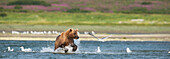 Panoramic of Brown Bear running amongst seagulls in Mikfik Creek, McNeil River State Game Sanctuary, Southwest Alaska, Summer