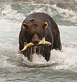 Brown bear eating fishing salmon in Mikfik Creek, McNeil River State Game Sanctuary, Southwest Alaska, Summer