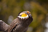 Hooting male Sooty Grouse in mating plumage, Olympic Mountains, Washington, USA