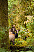 Three Roosevelt elk cows looking at viewer, Hoh Rainforest, Olympic Mountains, Olympic National Park, Washington, USA