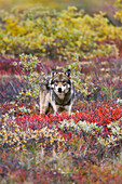 Gray wolf (Canis lupus) standing on tundra  Fall, dwarf birch (Betula nana) bright red, willows (Salix sp.) golden. Denali National Park, Interior Alaska, USA.