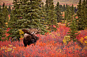 Moose (Alces alces) bull standing in red dwarf birch (Betula nana) in open spruce forest, Fall, Denali National Park, Interior Alaska, USA.