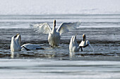 Trumpeter swans resting and feeding at Marsh Lake, Spring migration, Yukon, Canada.