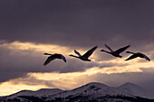 Four Trumpeter swans arrive at Marsh Lake as a squall moves in from the north, Spring migration, Yukon, Canada. Composite.