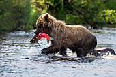 A brown bear catches a sockeye salmon in a small stream in Katmai National Park, Alaska.