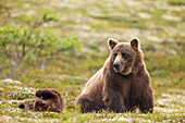 A brown bear cub plays while its mother rests after foraging for berries on the tundra in Katmai National Park, Alaska. Composite.