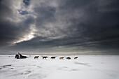 Aliy Zirkle tucks down into a direct headwind shorlty after leaving the Unalakleet checkpoint, Iditarod Sled Dog Race 2013