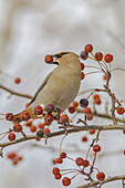 Close up of a Bohemian Waxwing with Mountain Ash berry in it's mouth in Anchorage, Southcentral Alaska, Winter