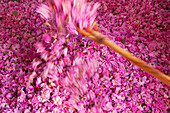 Turning large pile of roses with large wooden fork in Kasbah Des Roses, Valley of Roses, Morocco