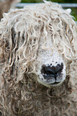 Close-up of Leicester Longwool Sheep, Uffculme, Devon, England, United Kingdom