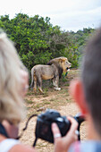 South Africa, Garden Route, Tourists photographing lion, Kariega Game Reserve