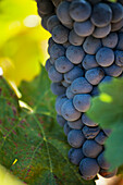 Ripe red grape in vineyard, La Rioja, Spain