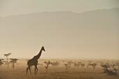 Giraffe at dawn in front of Mt Kenya in Ol Pejeta Conservancy, Laikipia County, Kenya