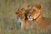 Lioness with cub at dusk in Ol Pejeta Conservancy, Laikipia Country, Kenya