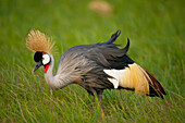 Grey crowned crane in Ol Pejeta Conservancy, Laikipia Country, Kenya