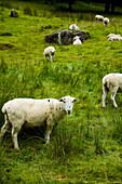 Sheep grazing on the hillside, Nantgwynant, Snowdonia National Park, North Wales, UK