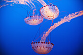 Paul, Quayle, Jellyfish, nobody, Indoors, Three Animals, Animal Themes, Nature, Wildlife, Beauty In Nature, Swimming, Transparent, Grace, Place Of Interest, California, USA, Medusa, Sea Life, Vibrant Color, Aquarium, Glowing, Nobody, Inside, Interior, Int