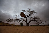 Lars, Froelich, nobody, Outdoors, Day, Low Angle View, Nature, Moody Sky, Horizon Over Land, Scenics, Beauty In Nature, Bizarre, Loneliness, Solitude, Spooky, Namibia, Sociable weaver, Nest, Single Tree, Grass, Nobody, Open Air, Outside, Exterior, Exterio