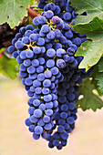 Grapes (Merlot Red Wine Variety) Growing On The Vine In Okanagan Valley, Osoyoos British Columbia Canada