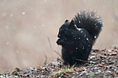 Black Squirrel Sitting In A Light Snowfall Eating A Peanut, Ontario Canada